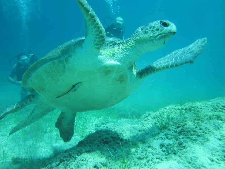 Green turtle in Protaras cyprus